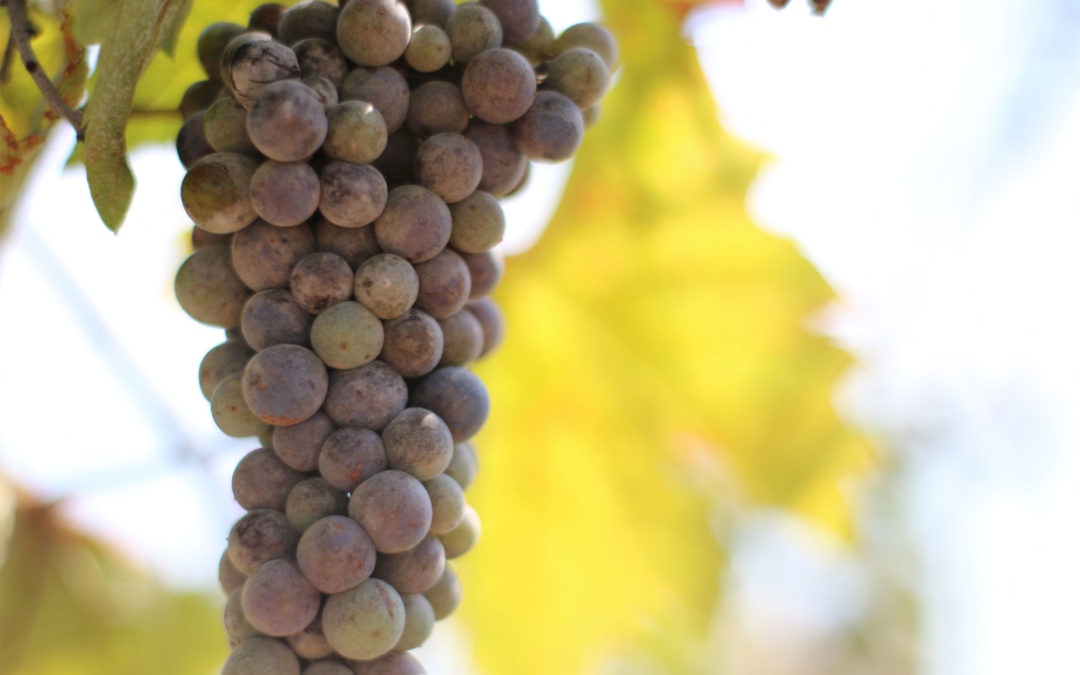 Lekker druifje